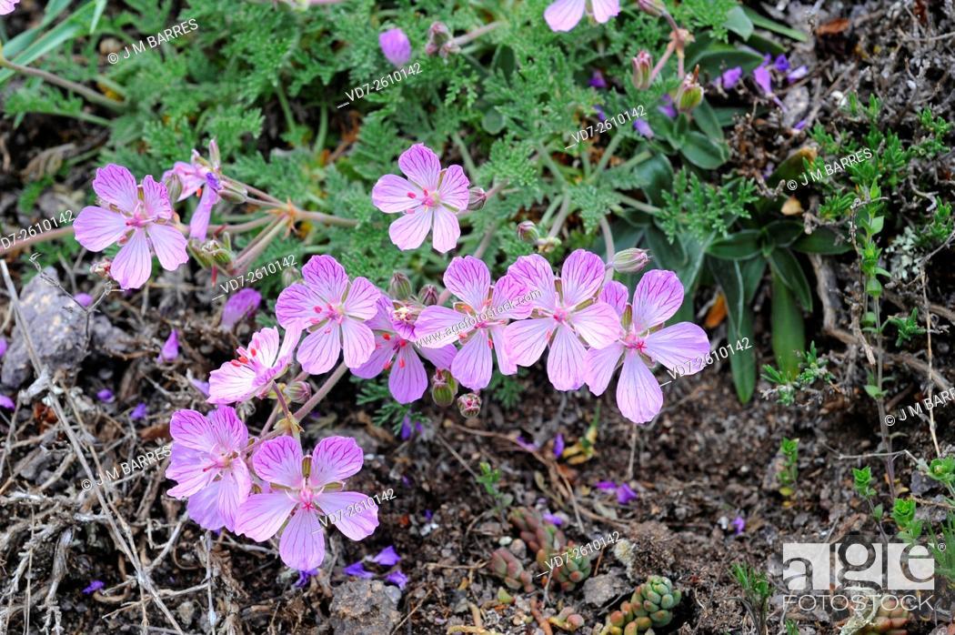 Imagen: The Paular geranium (Erodium paularense) is an endemic plant that lives in El Paular and Sierra del Guadarrama (Madrid) and some localities of Guadalajara.