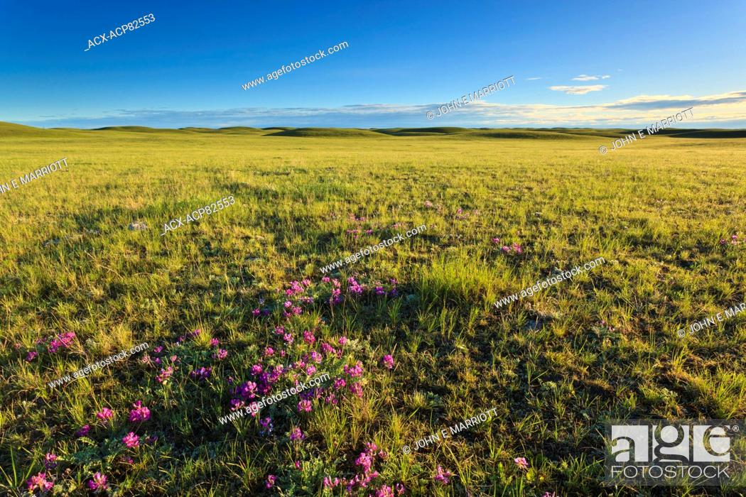 Stock Photo: Shortgrass prairie and wildflowers at sunrise just outside of Grasslands National Park, Saskatchewan, Canada.