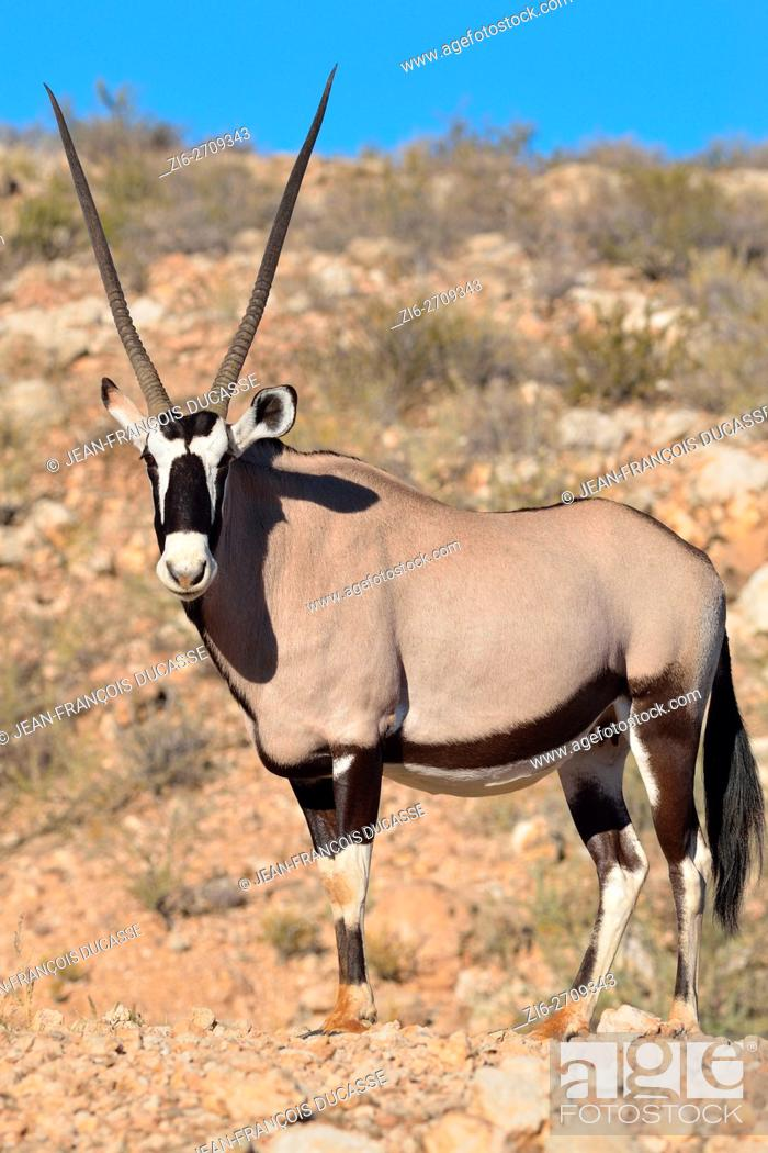 Stock Photo: Gemsbok (Oryx gazella), adult female standing on stony ground, Kgalagadi Transfrontier Park, Northern Cape, South Africa, Africa.