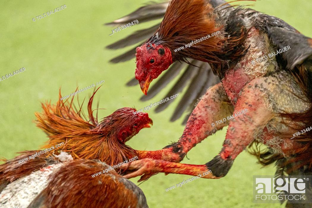 Stock Photo: Figting cocks, Mallorca, balearic islands, Spain.