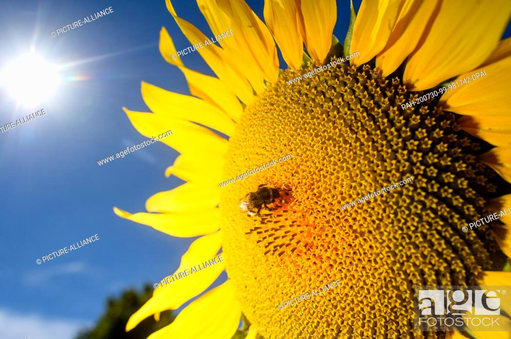 Stock Photo: 30 July 2020, Saxony-Anhalt, Schleibnitz: A bumblebee is sitting on a blooming sunflower. Above it shines the sun from a cloudless sky.