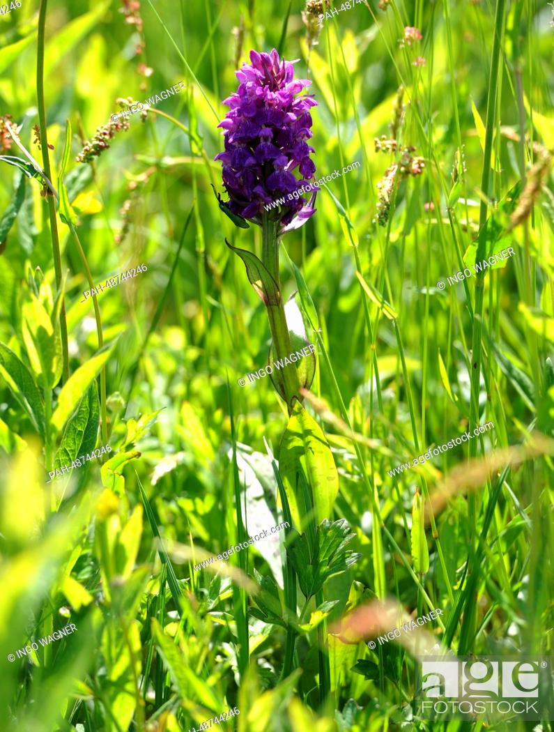 Stock Photo: Broad-leaved marsh orchid bloom in the moor of NABUin Moordorf,Germany, 20 May 2014. The endangered species of Orchid will be cared for in the Vicorburer Moor.
