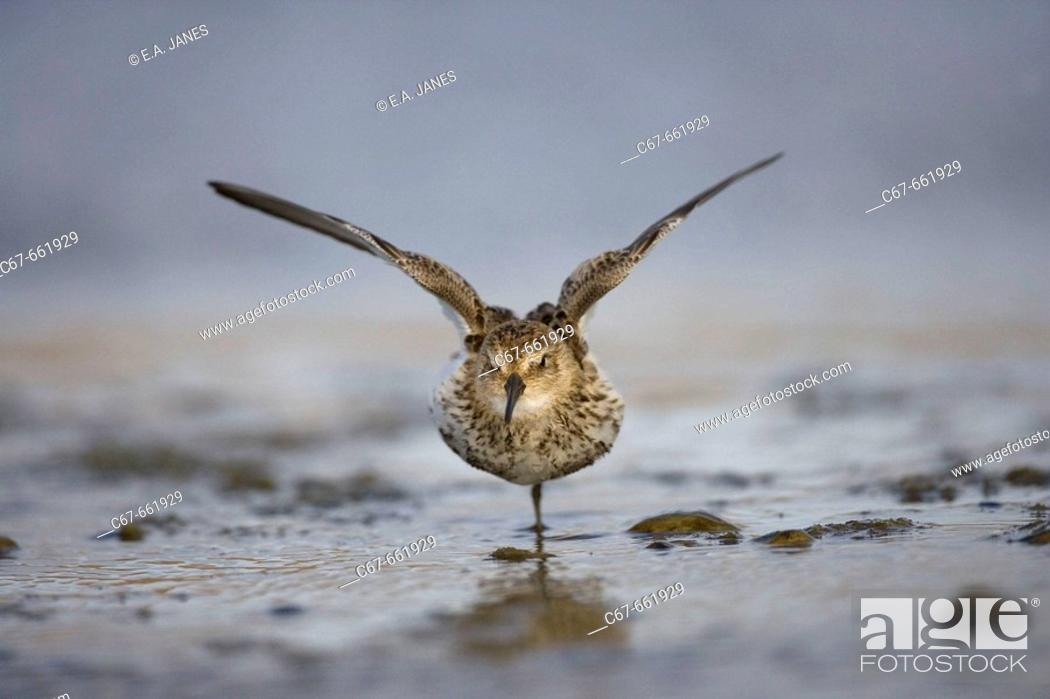 Stock Photo: Little Stint (Calidris minuta). Norfolk. UK.