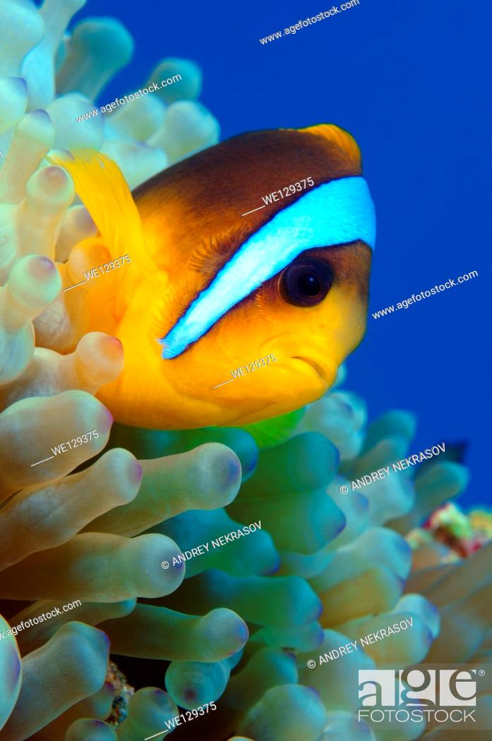 Stock Photo: Clownfish or Twoband Anemonefish (Amphiprion bicinctus). Red sea, Egypt, Africa.