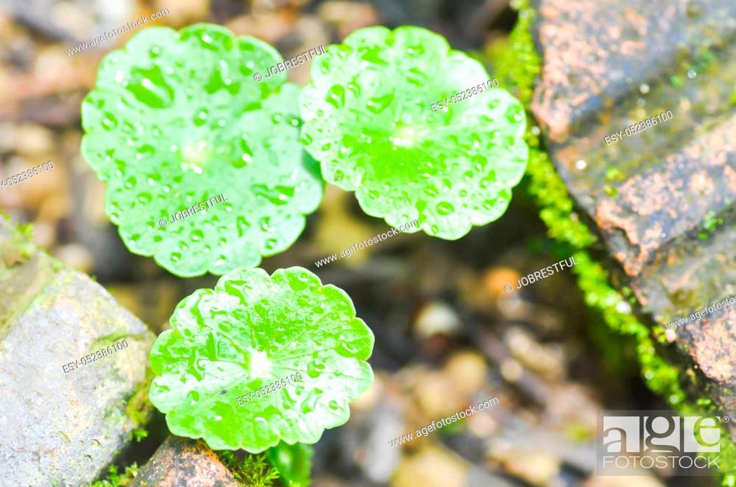 Stock Photo: water pennywort plant or hydrocotyle umbellata.