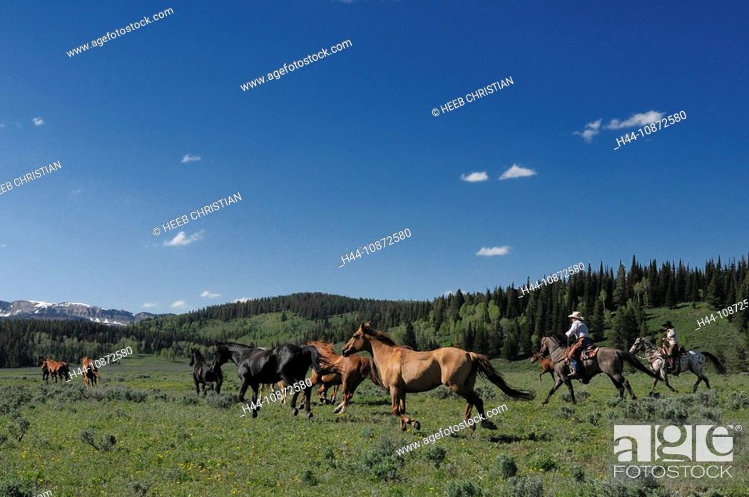 Stock Photo: Cowboys, roundup of Horses, Flying A Ranch, Pinedale, Wyoming, USA.