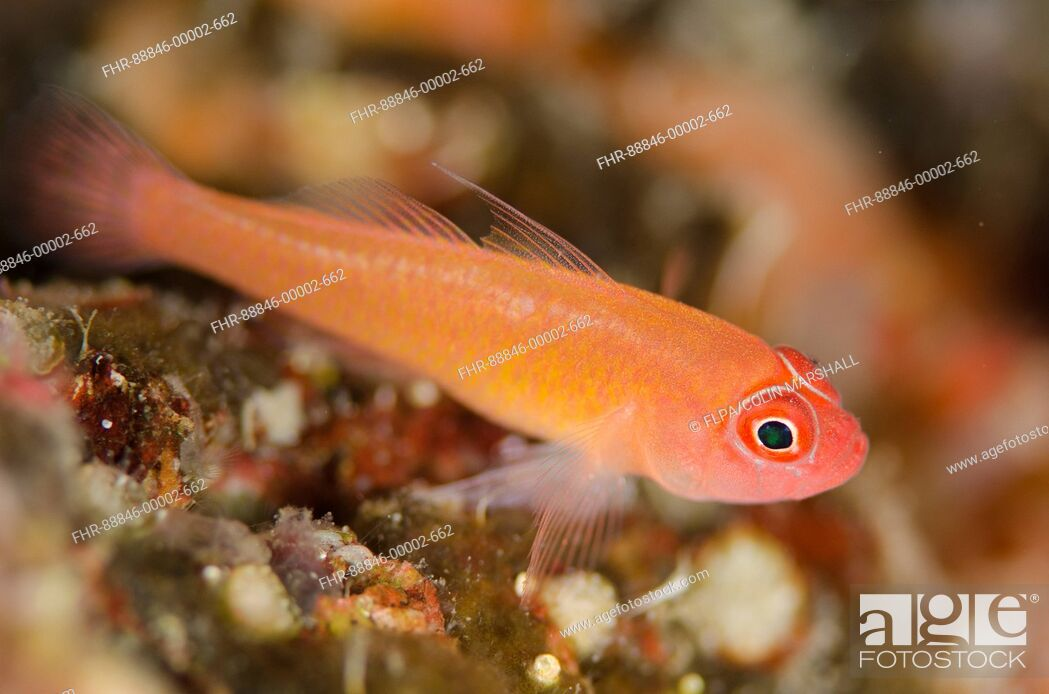 Stock Photo: Ringeye Dwarfgoby (Trimma benjamini) on coral, Plateau dive site, Balbulol Island, Misool, Raja Ampat (4 Kings), West Papua, Indonesia.