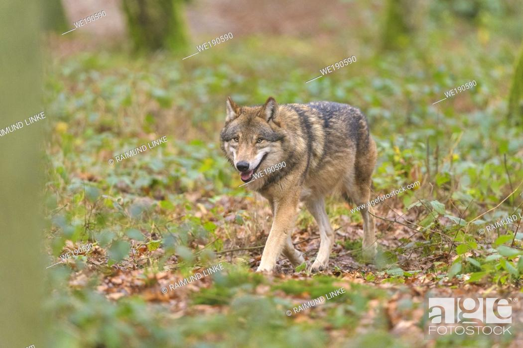 Photo de stock: Wolf, Canis lupus, in forest.