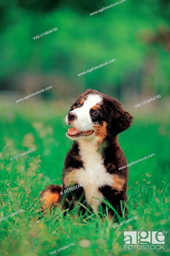Stock Photo: dog, 35mm, petdog, animal, BerneseMountainDog, mammal, film.