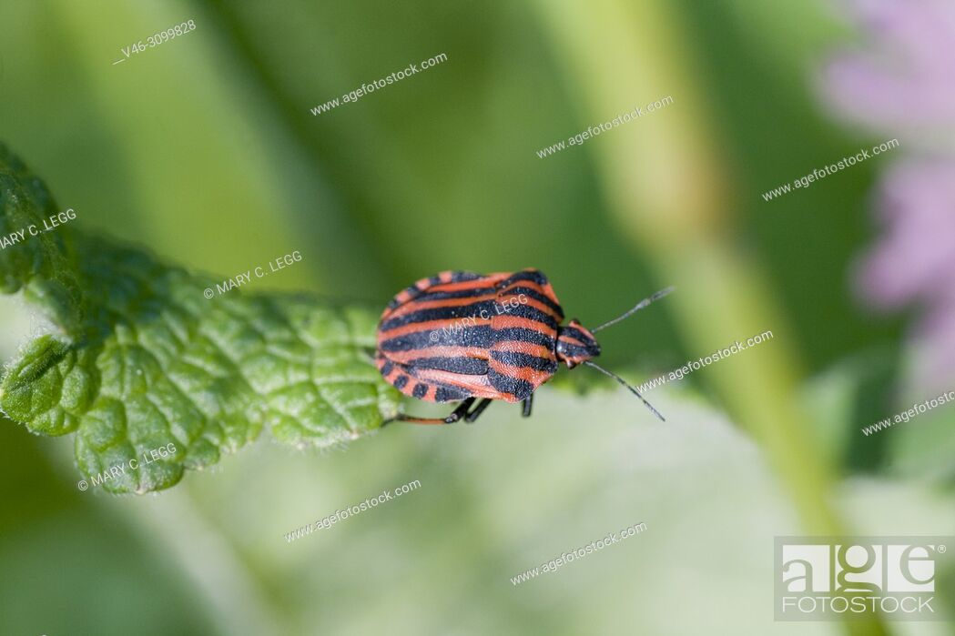 """Stock Photo: Red and Black Stinkbug, Graphosoma Lineatum is a large, remarkable shield bug with red and black stipes about 8â. """"12 mm, 0. 31â. """"0. 47 in."""