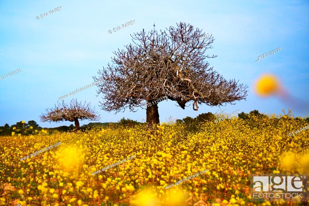 Stock Photo: An ancient fig tree near Es Cap of Barbaria in the island of Formentera Baleares, Spain.