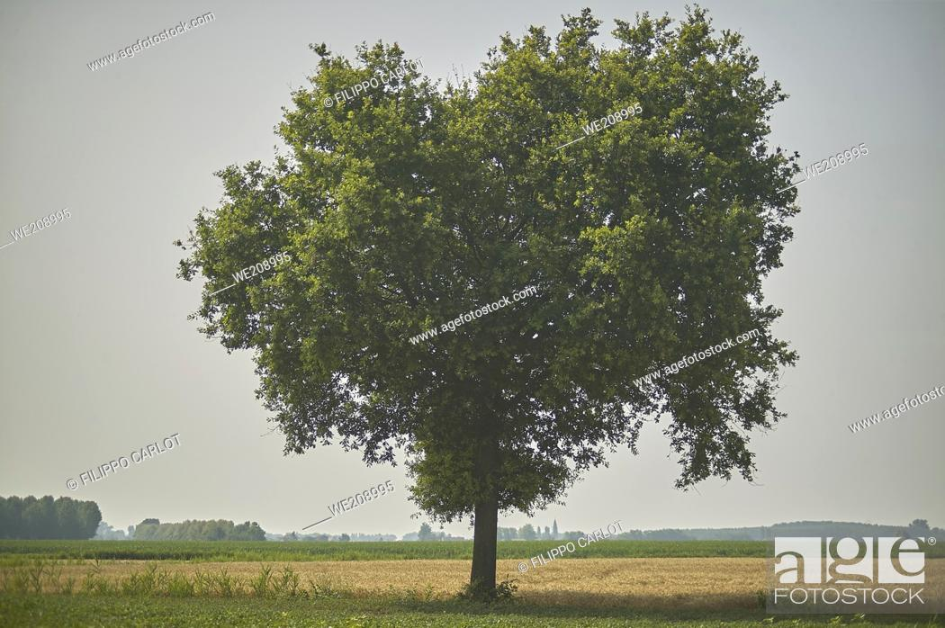 Stock Photo: Large tree, plane tree, immersed in a unique and evocative countryside.