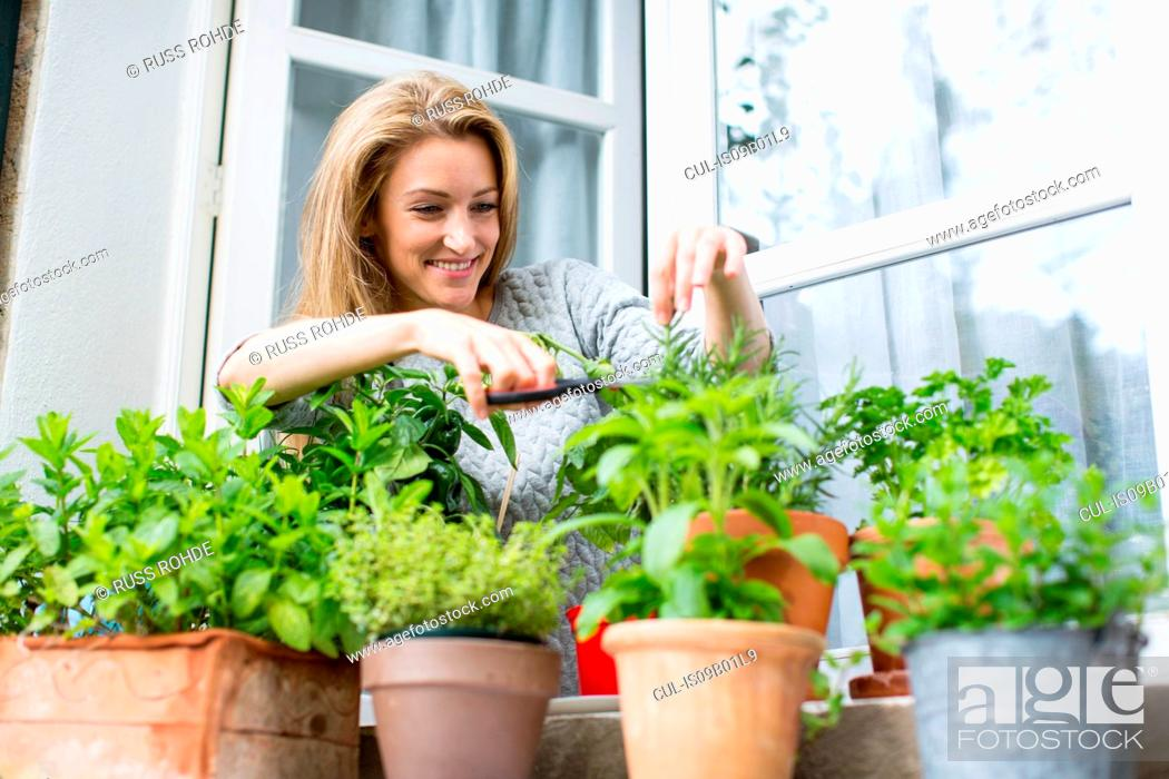 Stock Photo: Woman clipping herb plants on windowsill.