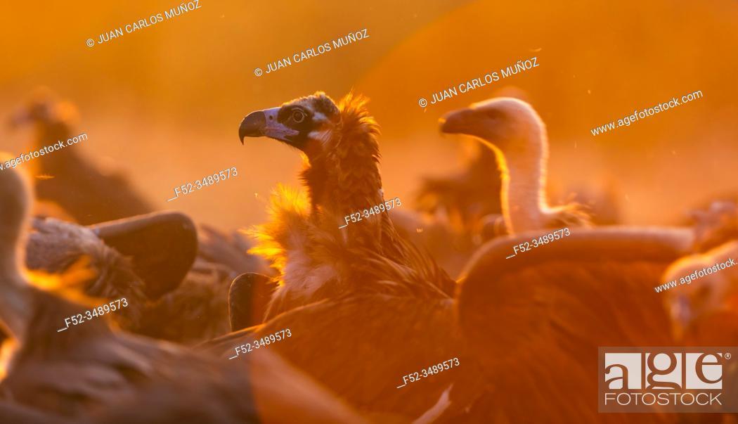 Imagen: Black vulture, monk vulture, or Eurasian black vulture (Aegypius monachus), Vultures in the Sierra de San Pedro, Cáceres, Extremadura, Spain, Europe.