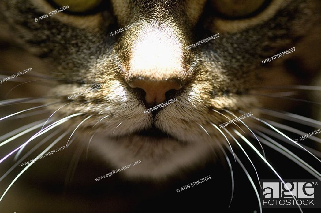 Stock Photo: Nose of a cat.