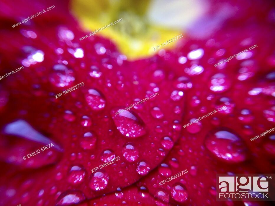 Stock Photo: Macro of droplets on Primrose.