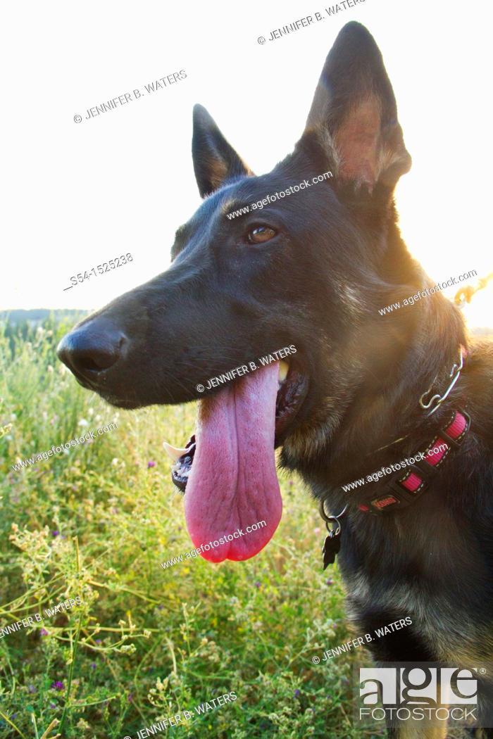 Stock Photo: A German Shepherd dog outdoors in Spokane, Washington, USA.