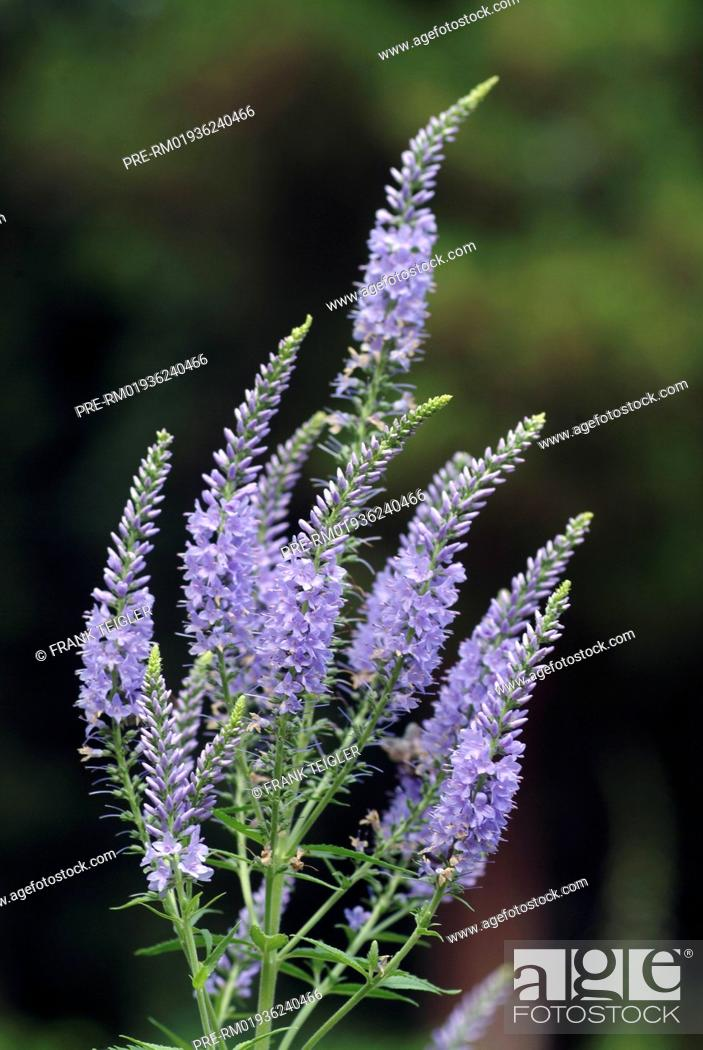 Langblättriger Ehrenpreis long leaf speedwell, veronica longifolia / langblättriger ehrenpreis