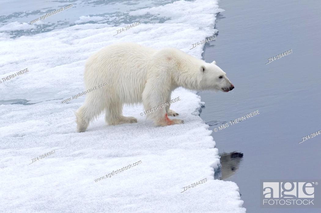 Stock Photo: Female Polar bear (Ursus maritimus) walking on pack ice, Svalbard Archipelago, Barents Sea, Norway, Arctic, Europe.