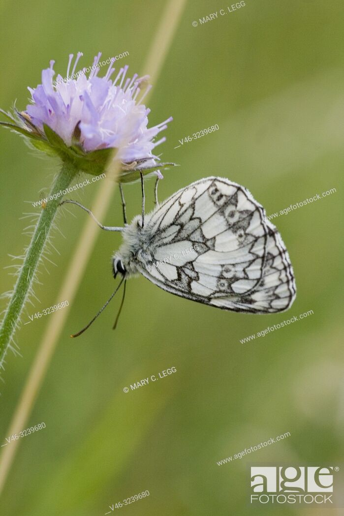 "Stock Photo: Marbled White, Melanargaria galanthea. Large white butterfly with black marbling. Wingspan: 46â. ""56. Host plants: Brachypodium pinnatum, Bromus erectus."