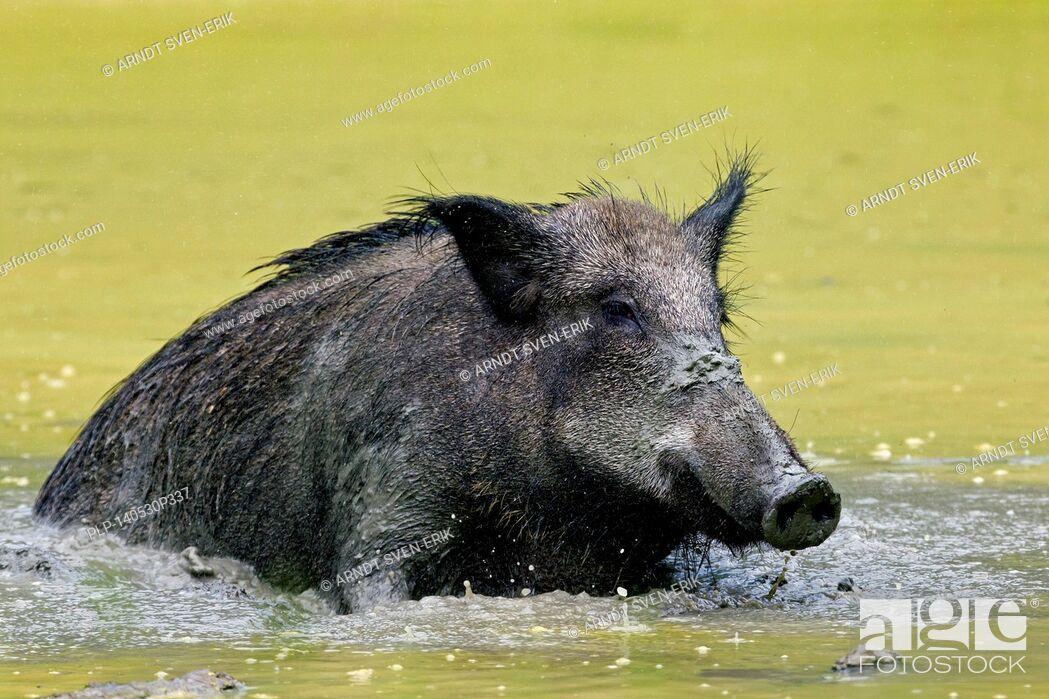 Stock Photo: Wild boar (Sus scrofa) female wallowing in mud of pool in summer.
