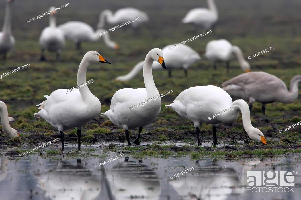 Stock Photo: Whooper Swan Cygnus cygnus - Laar, County of Bentheim, Grafschaft Bentheim, Lower Saxony, Niedersachsen, Germany, Europe.