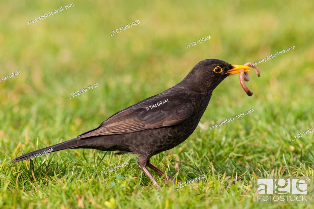 Stock Photo: A Male Blackbird (Turdus merula) pulling up a worm in the Uk.