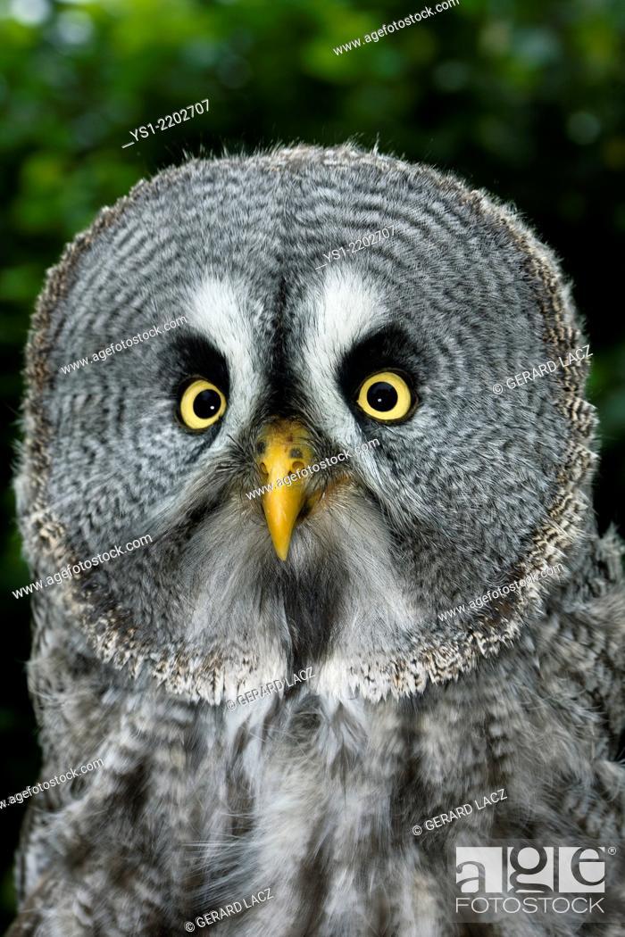 Imagen: Great Grey Owl, strix nebulosa, Portrait of Adult.