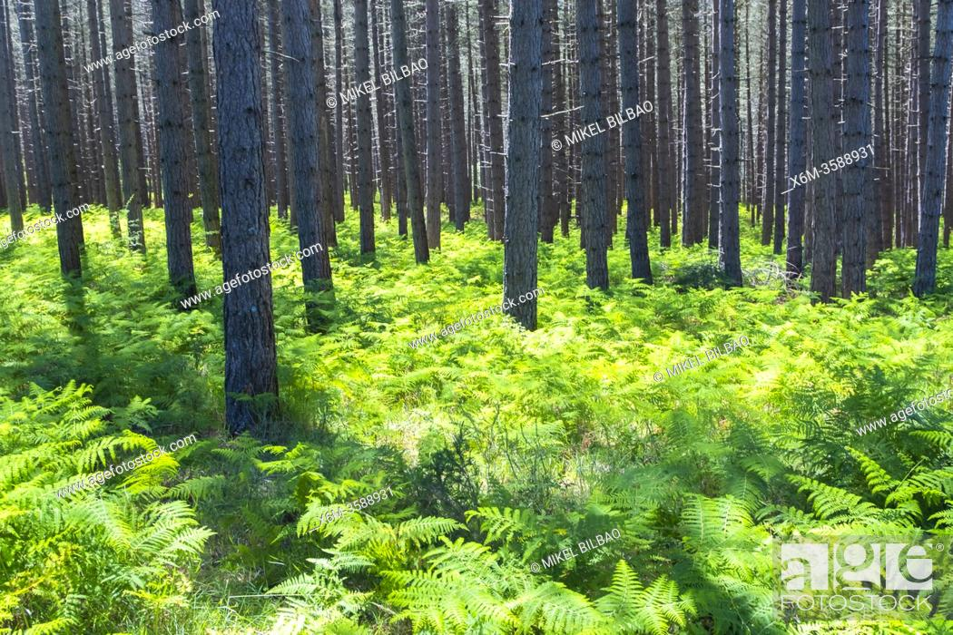 Stock Photo: Pine trees forest and ferns. Gorbeia Natural Park. Alava, Basque Country, Spain, Europe.