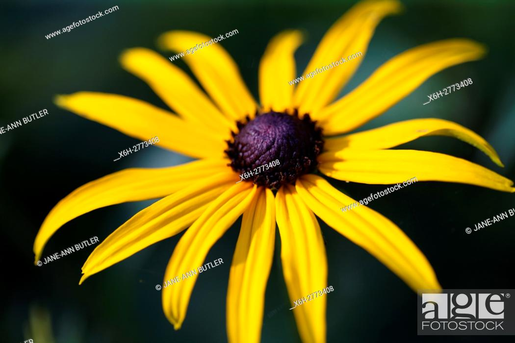 Stock Photo: a fully open, feel good summer rudbeckia.