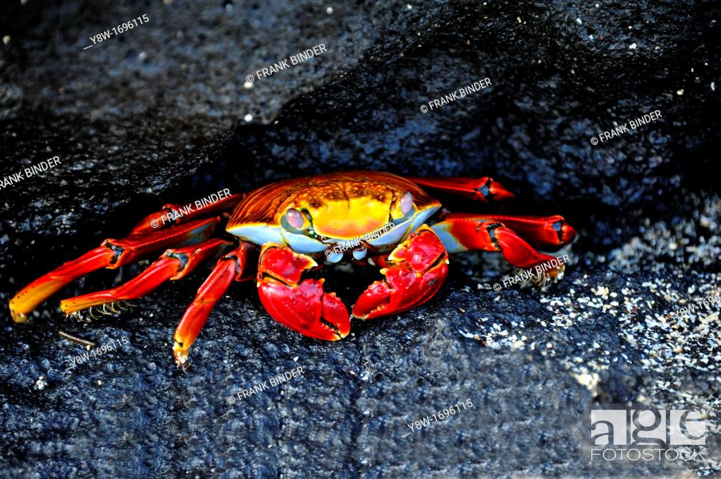 Stock Photo: Sally Lightfoot Crab in Galapagos Islands.