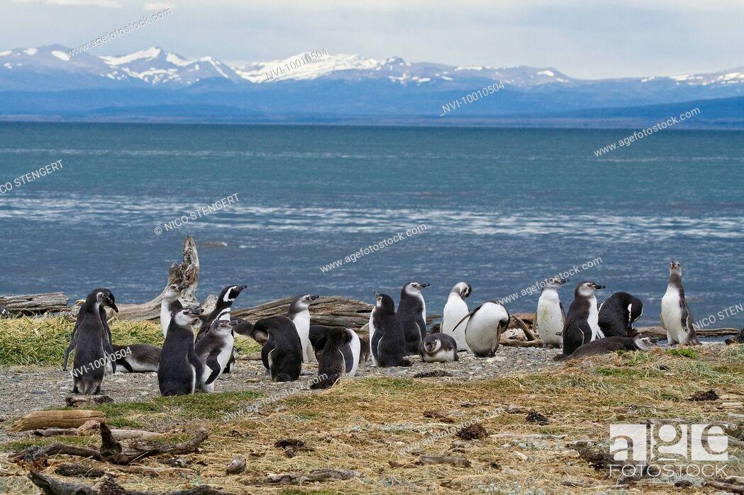 Photo de stock: Magellanic Penguins, Spheniscus magellanicus, Seno Otway, Chile, South America.