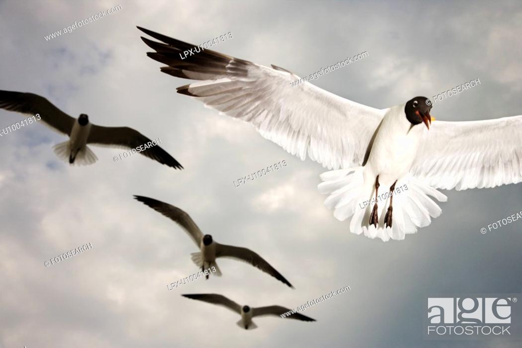 Stock Photo: Seagulls in flight.