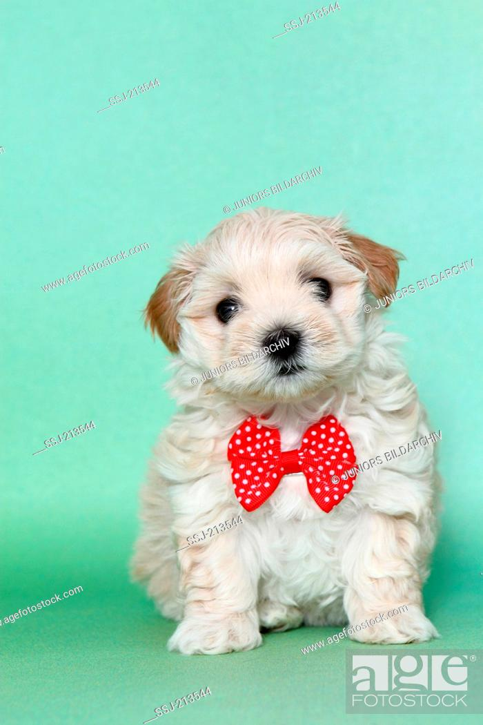 Maltipoo Maltese X Toy Poodle Puppy