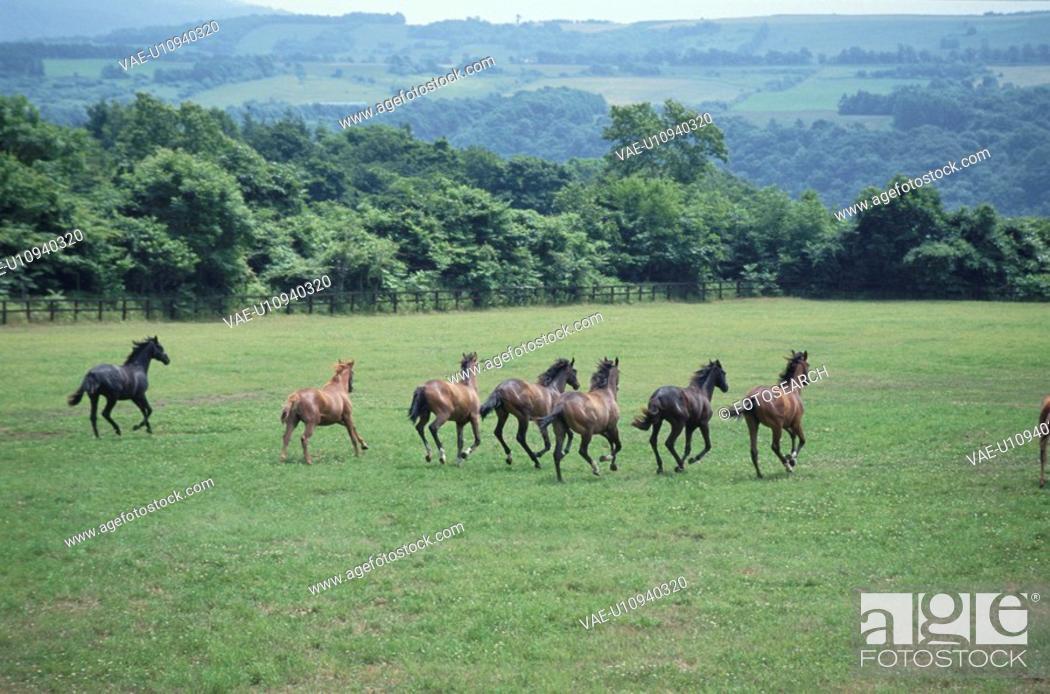 Stock Photo: Running Horse In Hokkaido.