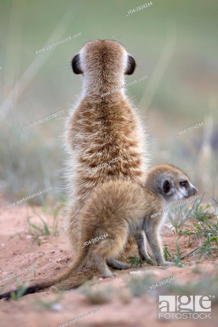 Stock Photo: Suricate (Suricata suricatta) - Mother and youngs, Kgalagadi Transfrontier Park, Kalahari desert, South Africa/Botswana.