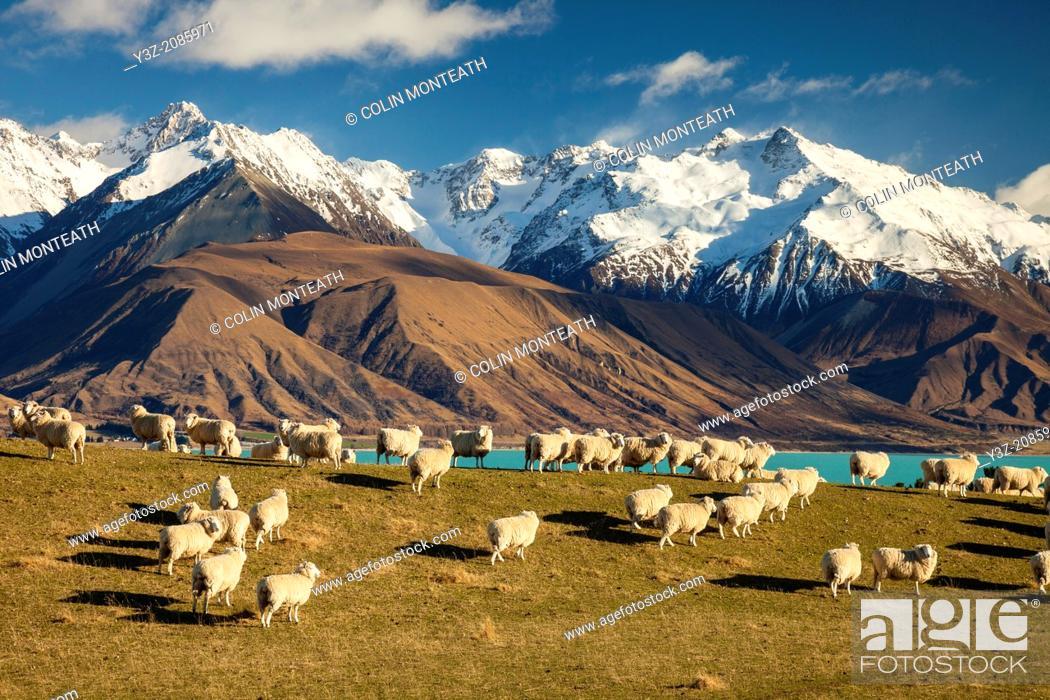 Stock Photo: Sheep grazing above Lake Pukaki, Ben Ohau Range behind, Mackenzie Country, Canterbury.