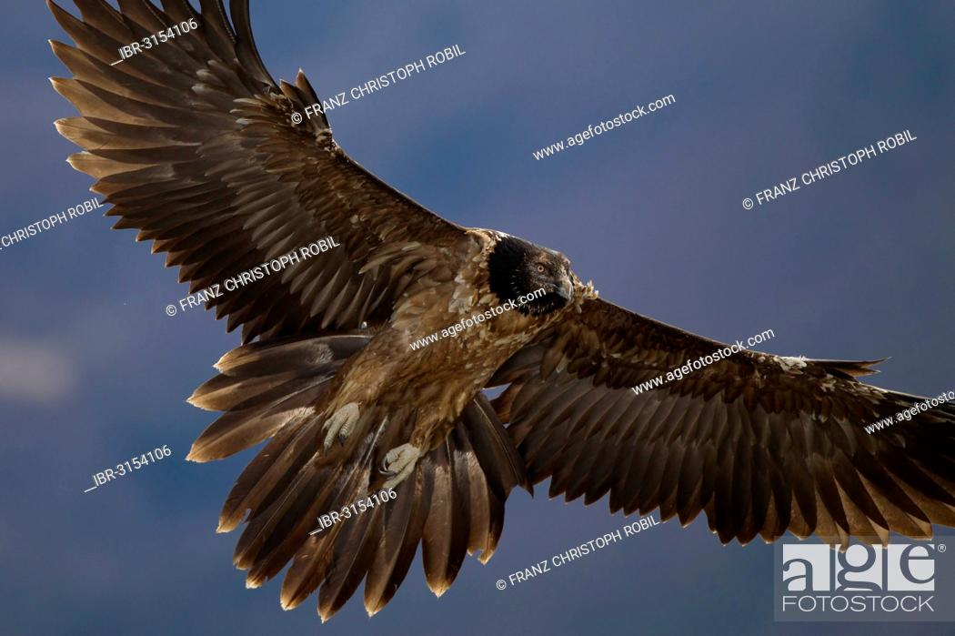 Stock Photo: Bearded Vulture (Gypaetus barbatus), immature bird in flight.