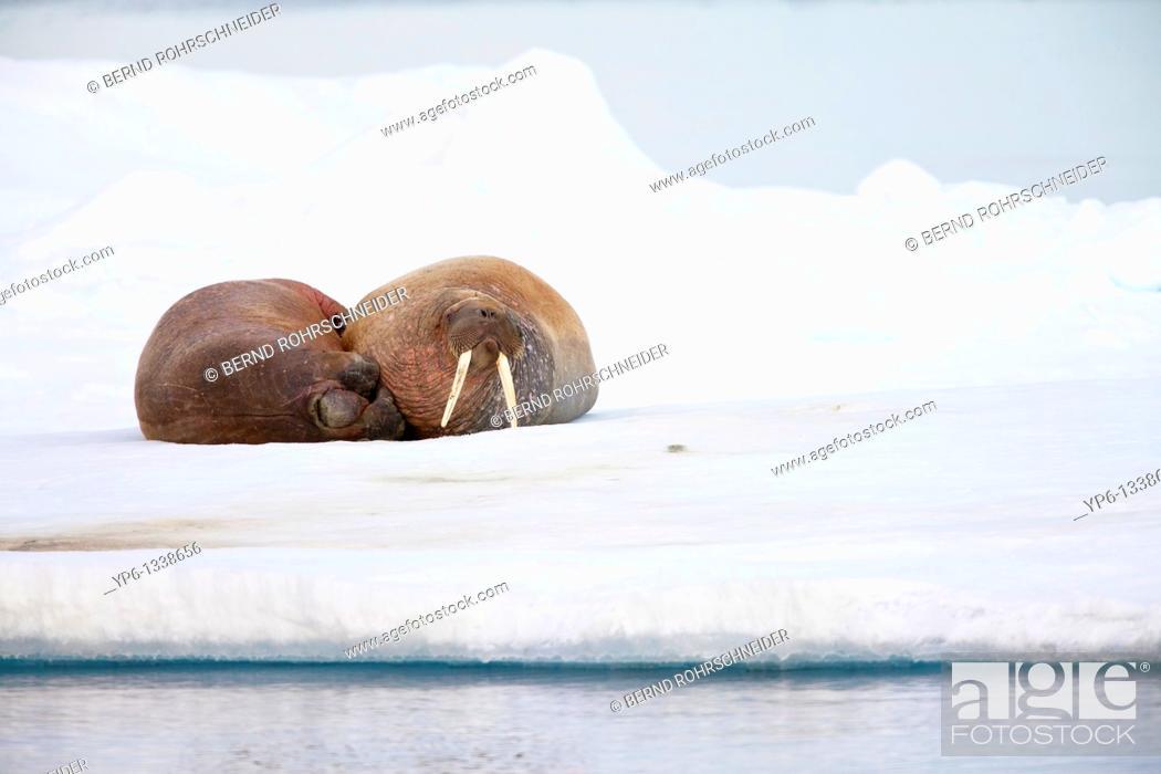 Stock Photo: two Walruses, Odobenus rosmarus, lying on ice floe, Spitsbergen, Svalbard.