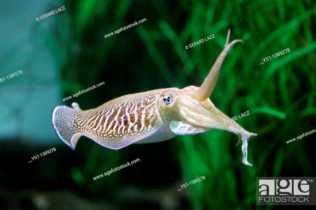 Stock Photo: Cuttlefish, sepia sp , Adult.