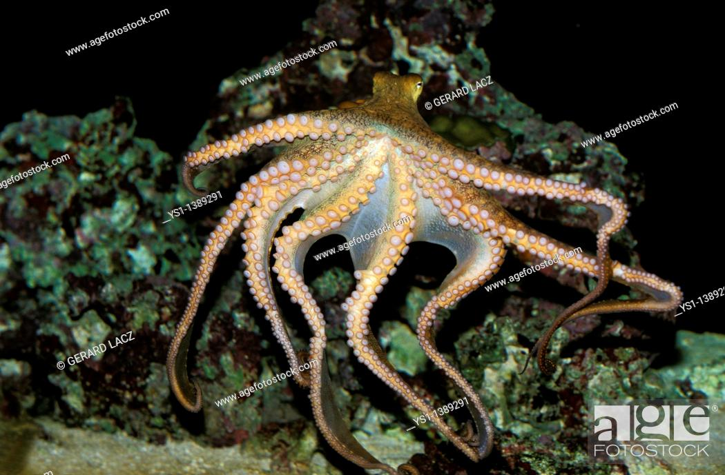 Stock Photo: Octopus, octopus sp , Adult Swimming Showing Tentacles.