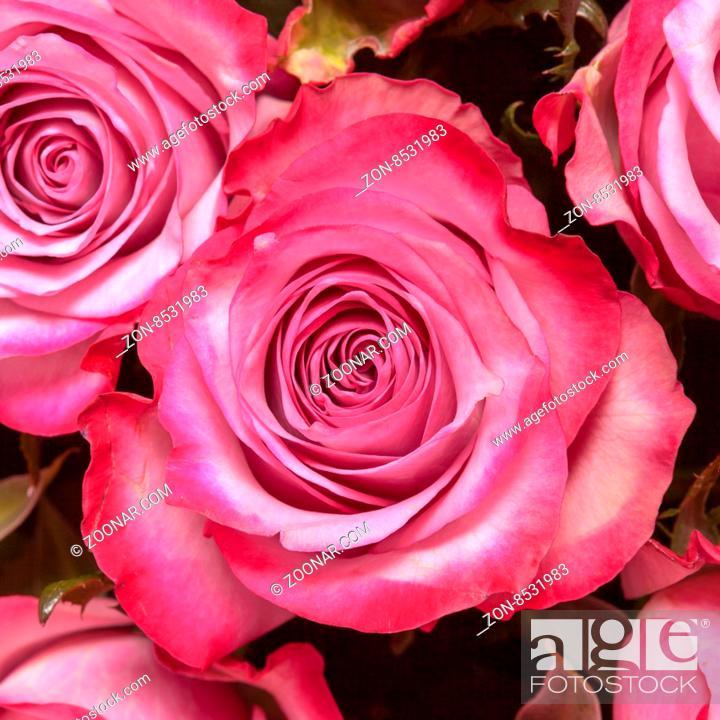 Imagen: Beautiful pink rose close up.