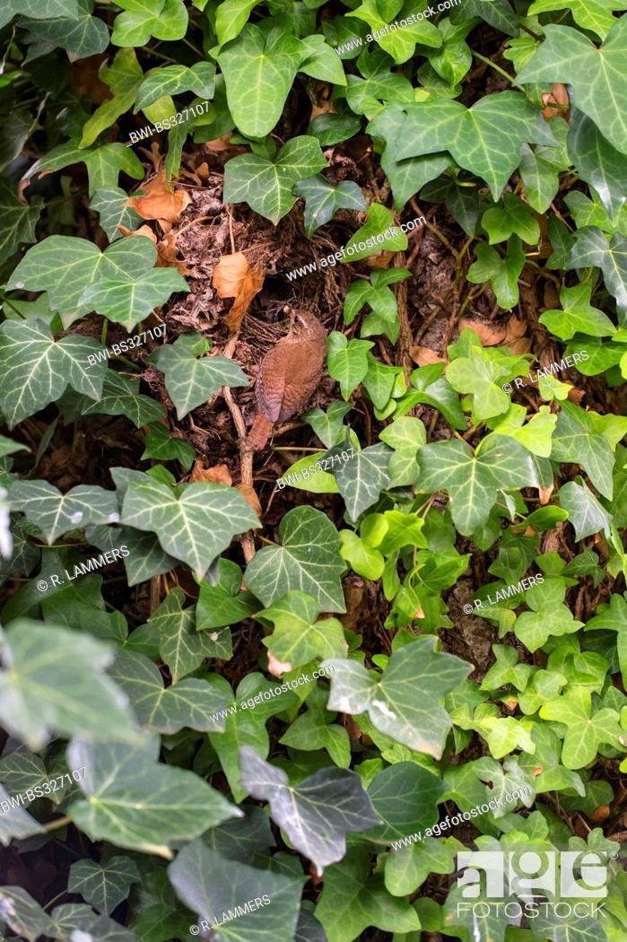 Stock Photo: winter wren (Troglodytes troglodytes), adult at its nest in ivy, Germany, North Rhine-Westphalia.