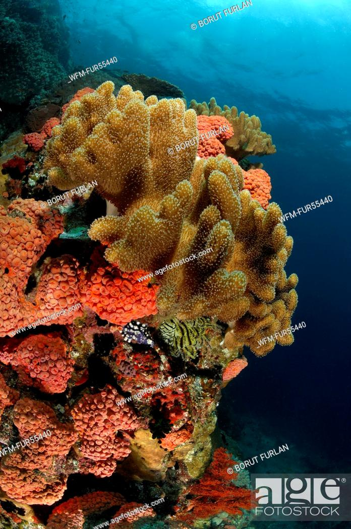 Stock Photo: Coral Reef of Leather Corals, Komodo, Indonesia.