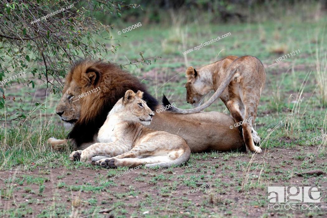 Stock Photo: Lion and lioness (Panthera leo) in savanna, Masai Mara Game Reserve, Kenya, East Africa, Africa.