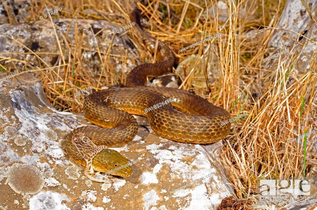 Stock Photo: dice snake Natrix tessellata, skinning individual, Montenegro, Lake Skutari.