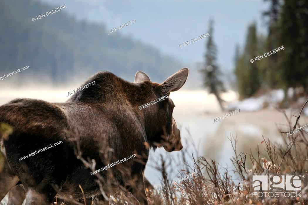 Stock Photo: Adult Moose on an early misty morning, Maligne Lake shoreline, Jasper National Park, Alberta, Canada.