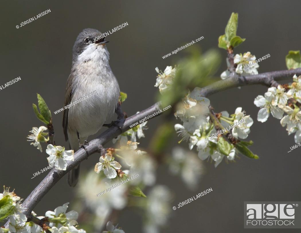 Stock Photo: Garden warbler (sylvia borin). Stockholm, Sweden.