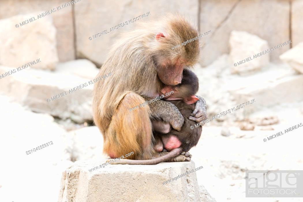 Stock Photo: Baboon mother and her little one, natural habitat.