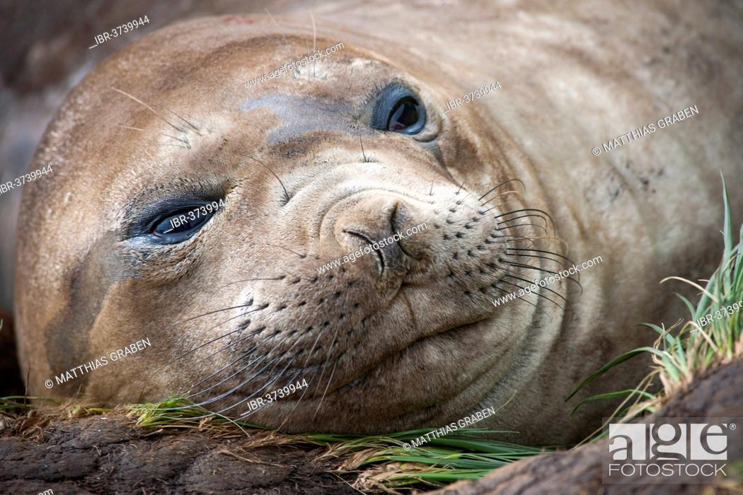 Stock Photo: Southern Elephant Seal (Mirounga leonina), female, Gold Harbour, South Georgia and the South Sandwich Islands, United Kingdom.